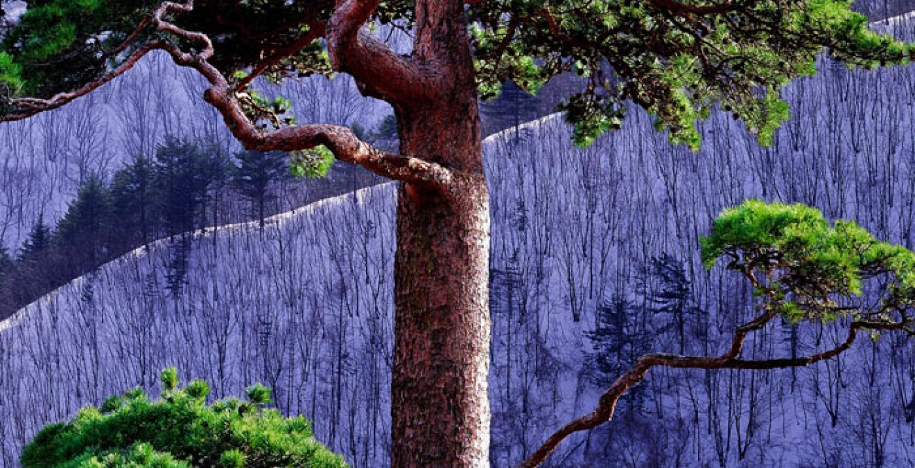 arbre coréen
