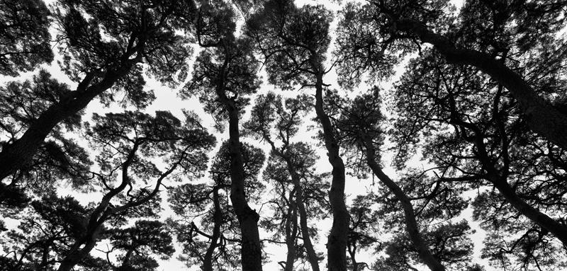 pine9