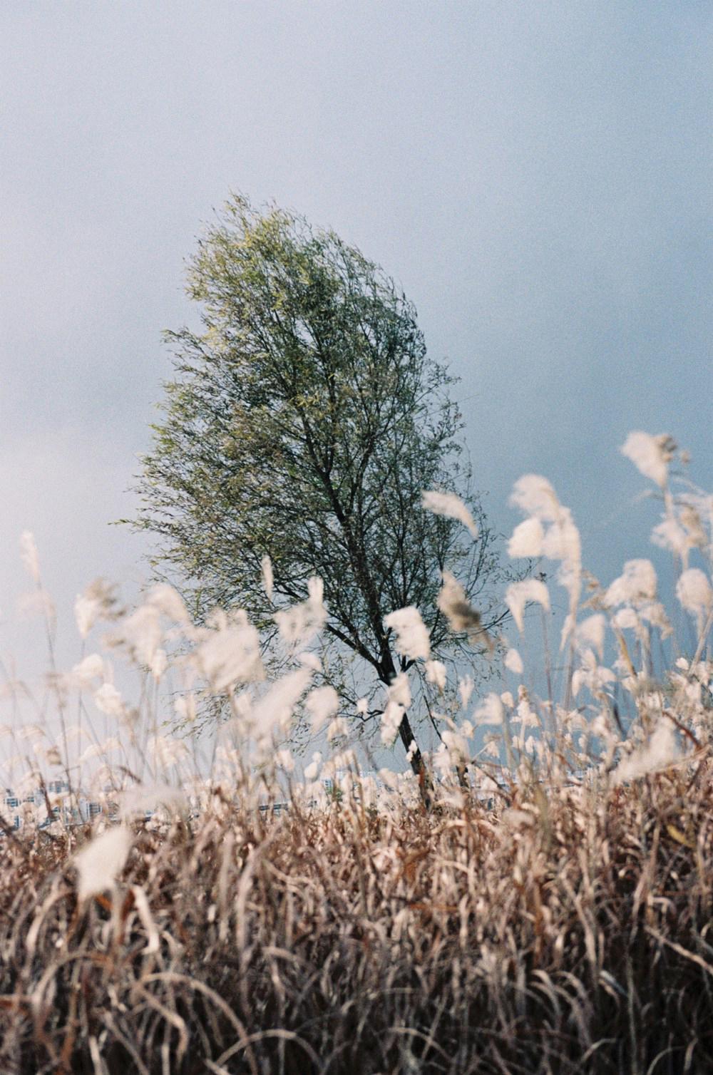 arbre corée